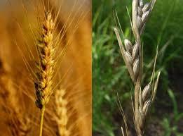 밀과 가라지02.jpg